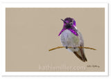 Painting of a Costas Hummingbird by award winning artist Kathie Miller.