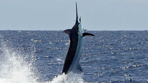 Marlin Magic II fish jumping
