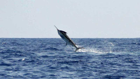 Marlin Magic fish jump