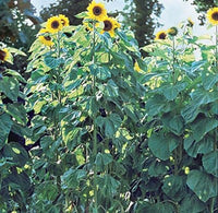 Sunflower American Giants Hybrid Seeds