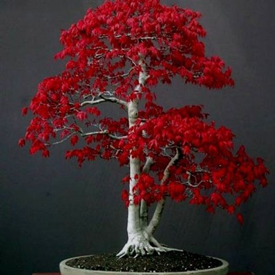 Bonsai Red Maple Seeds