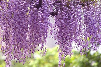 Wisteria Royal Purple Vines