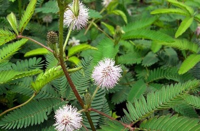 White French Mimosa Pudica