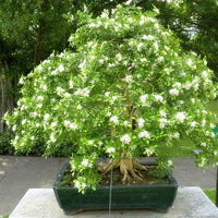 Bonsai Fragrant Jasmine Seeds