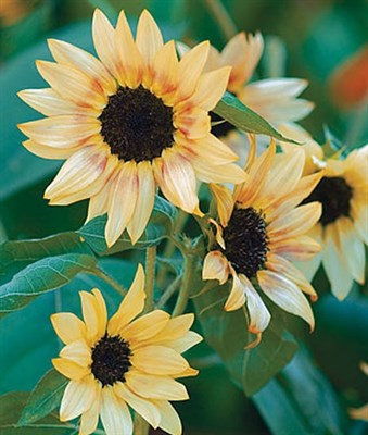 Sunflower Bashful Seeds