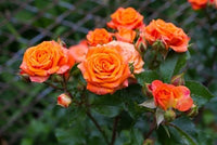 Rare Orange Rose Seeds