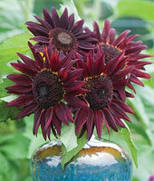 Sunflower Chianti Hybrid Seeds