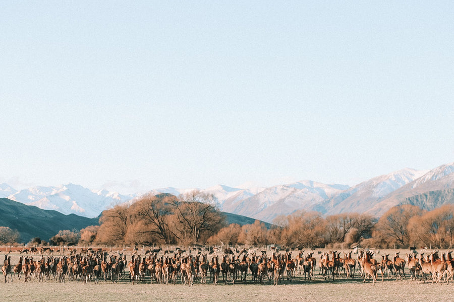 Deer Herd, Wanaka, New Zealand