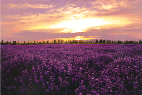 Sunset Lavender Field 1000 Pieces Jigsaw Puzzles