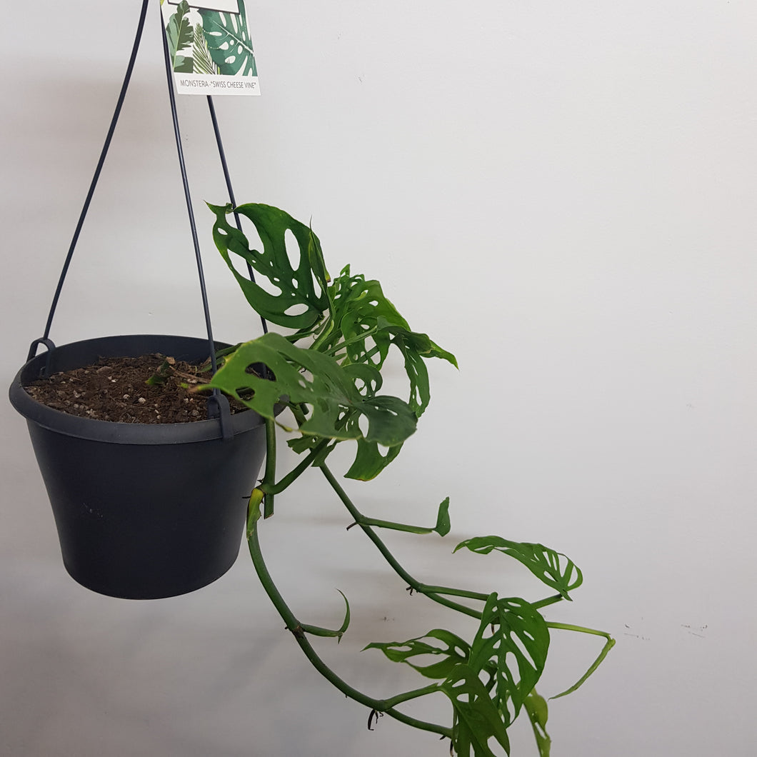 Monstera Swiss Cheese Vine