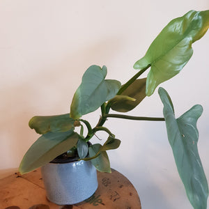 "Philodendron Hastatum ""GREY SILVER SWORD"""