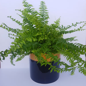 Nephrolepis Hong Kong Fern