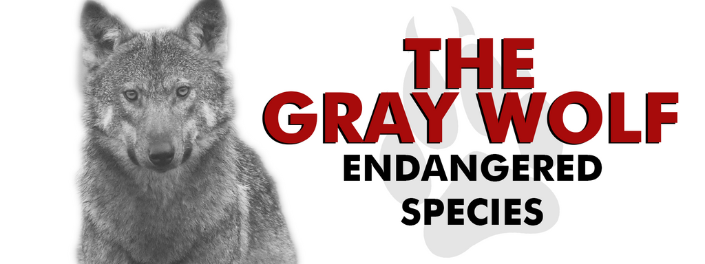 The gray wolf in greater danger than ever before