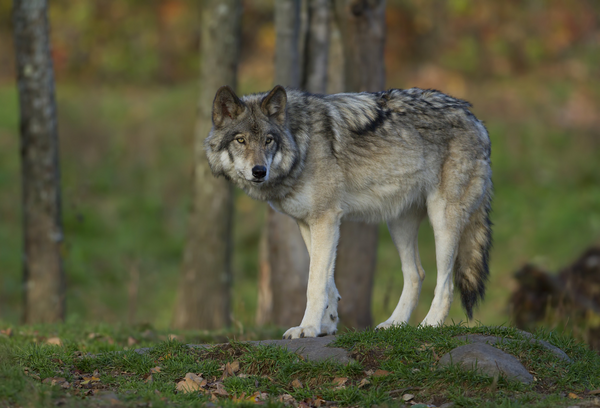 gray wolf in forest - american wolves