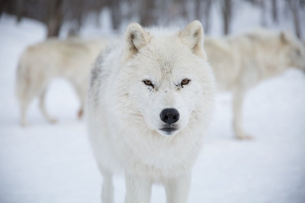 artic wolf-american wolves
