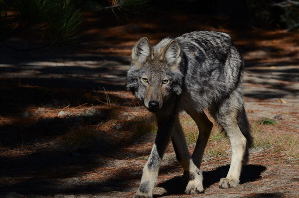 eastern wolf-american wolves