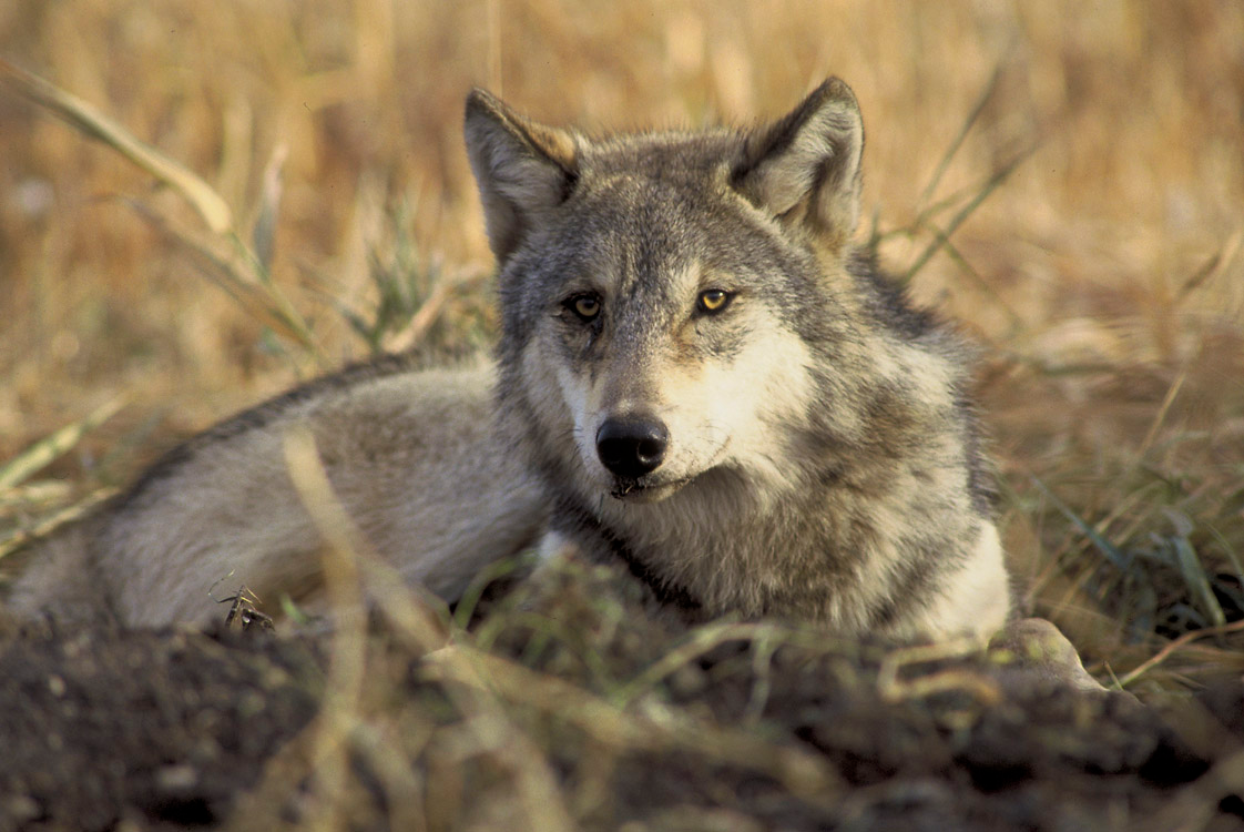 endangered gray wolf - american wolves