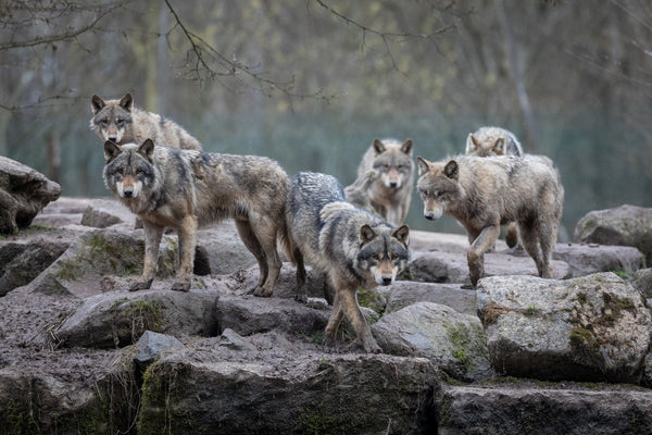 gray wolf-american wolves