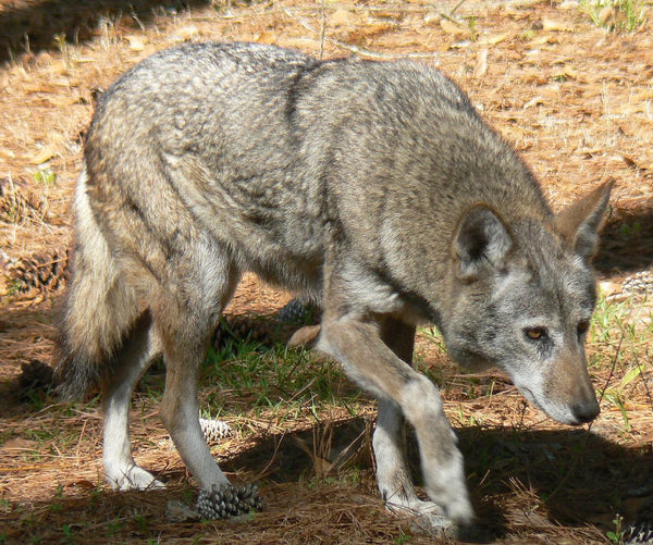 red wolf-american wolves