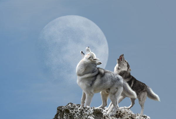 wolf howling at moon - american wolves
