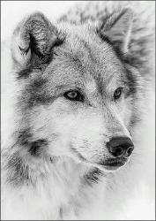 Snow Wolf Wall Art - American Wolves