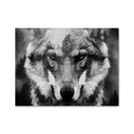 Stone Cold Gaze Wolf Wall Art - American Wolves