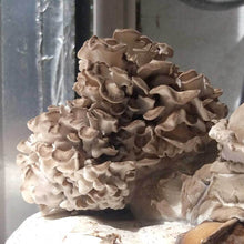 Load image into Gallery viewer, Maitake (Grifola frondosa)