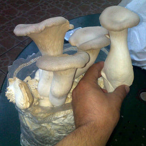 Culture of Pleurotus eryngii