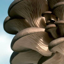 Load image into Gallery viewer, Pleurotus ostreatus