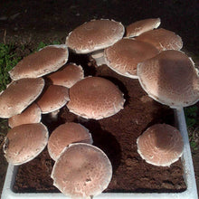 Load image into Gallery viewer, Portobelo (Agaricus bisporus)