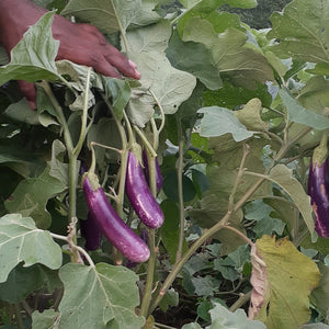Eggplants-Vegetable-Nakaracia Farm-Aggie Global Fiji