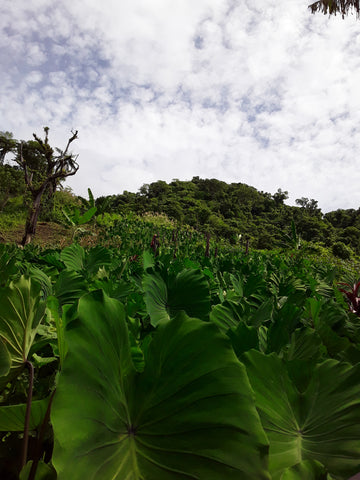 Organic Dalo-Vegetable-Sky-City Farm-Aggie Global Fiji