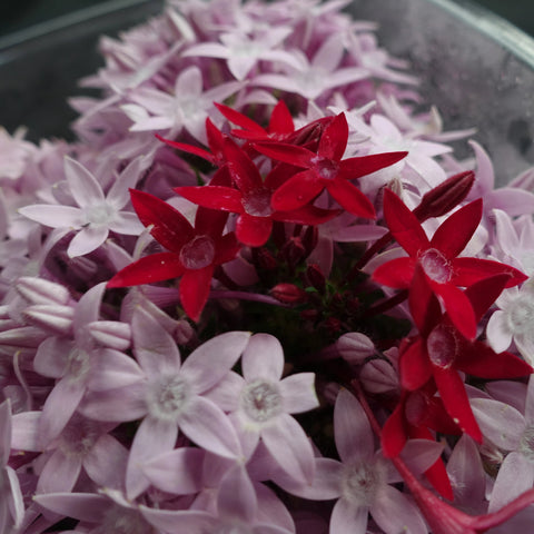 Star Clusters Flower Garnish-Garnish-Gaiatree Sanctuary and Elevate-Lilac-Aggie Global Fiji