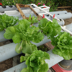 Hydroponic Lettuce-Vegetable-Prasads Organic Supplies-Aggie Global Fiji