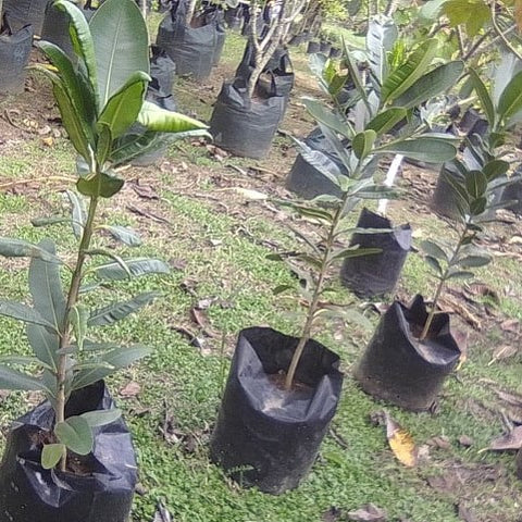 Dilo Plants (Anjalin's)
