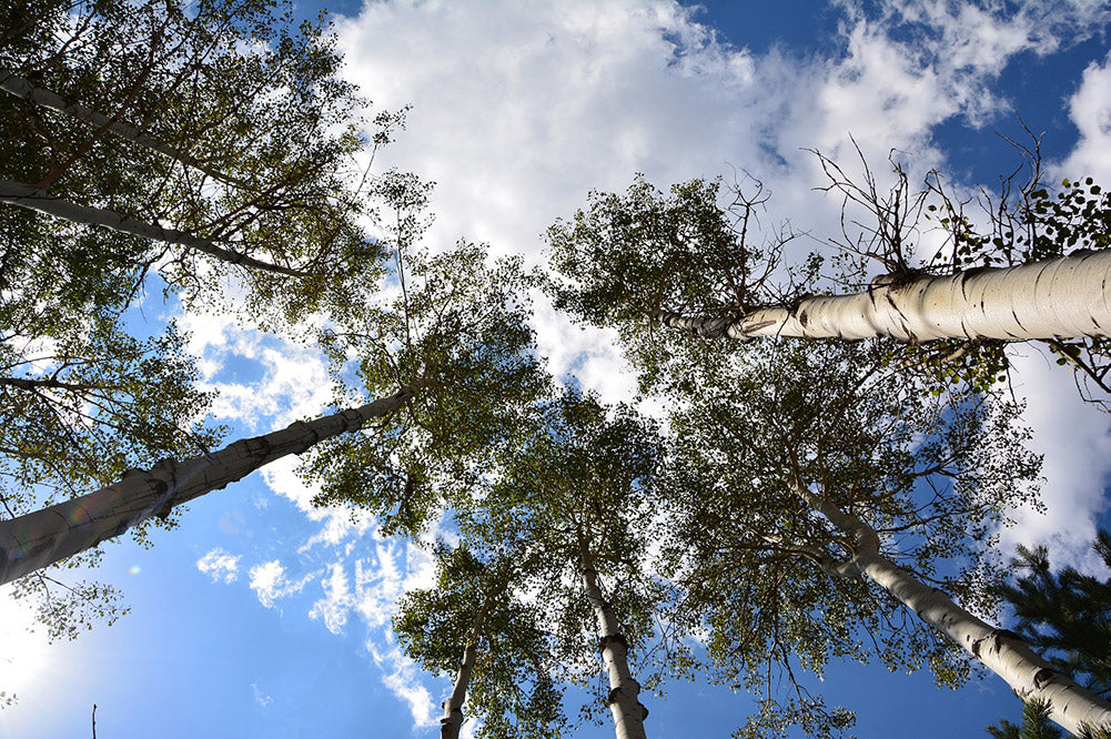 What Are Sustainable Materials poplar