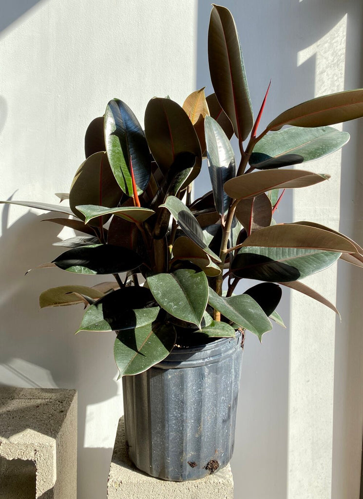Rubber Tree Plant / Ficus Burgundy