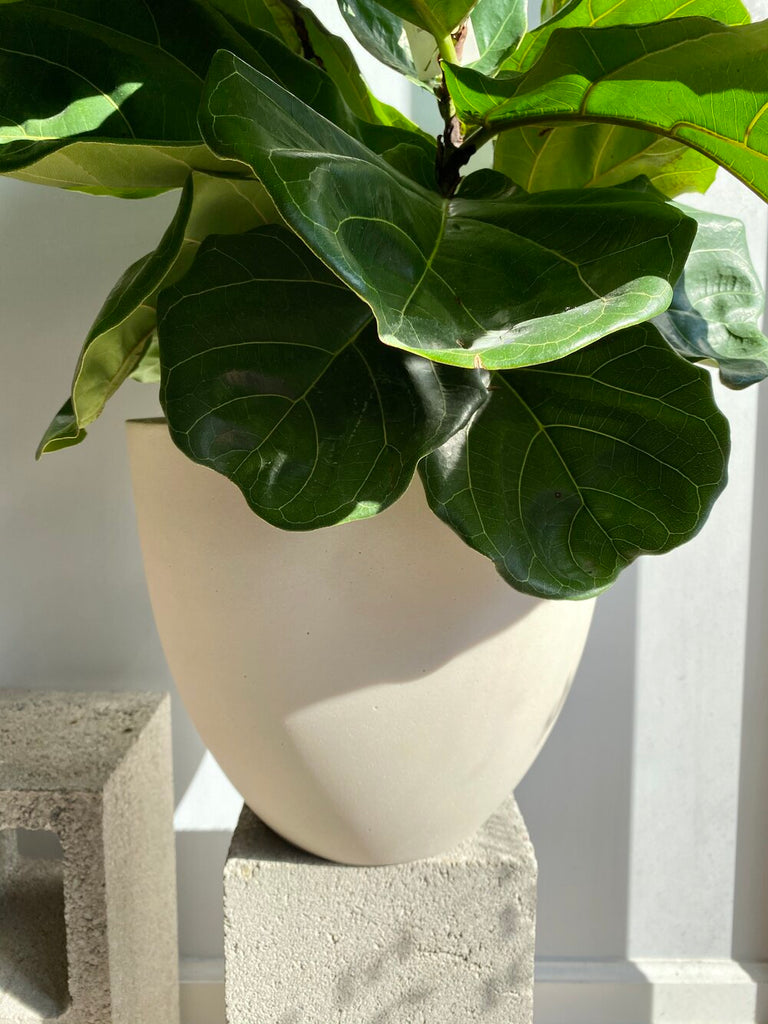 Fiddle Leaf Fig Bush & Tree