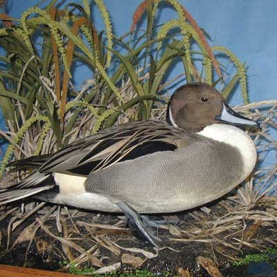 Mounting a Standing Pintail DVD - Matuska Taxidermy