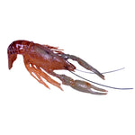 Crayfish Reproductions - Matuska Taxidermy