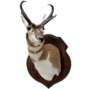 Crest Panel - Matuska Taxidermy