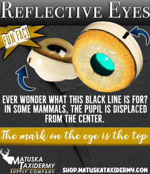 Reflective Eyes - Wolverine - Matuska Taxidermy