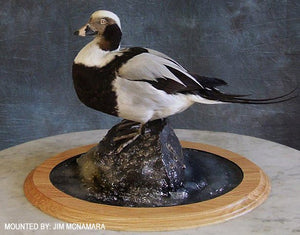 Single Tier Base - Oval - Matuska Taxidermy