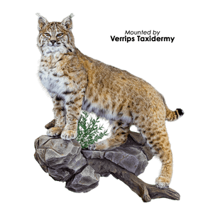 Bobcat • Lifesize - Climbing (Left Turn)
