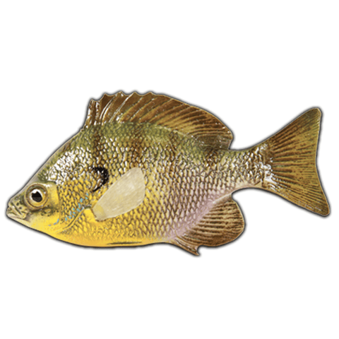 Bluegill | Reproduction Chase Fish - Matuska Taxidermy