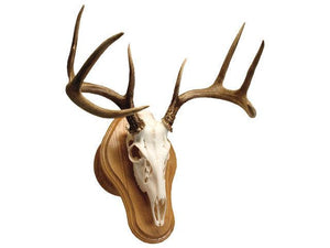 Deluxe Euro Skull Display - Matuska Taxidermy
