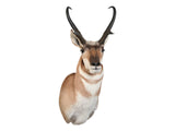 Antelope Upright - Matuska Taxidermy
