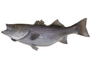 Bass, Striped - Matuska Taxidermy