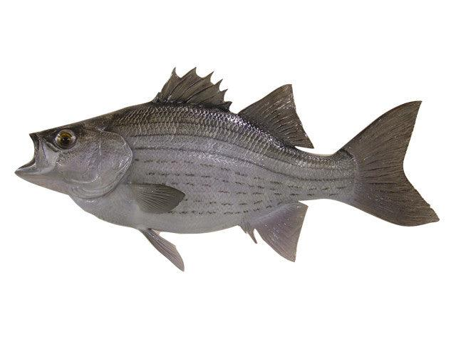 Bass, White & Hybrid - Matuska Taxidermy