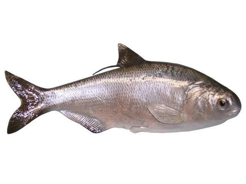 Gizzard Shad | Reproduction Chase Fish - Matuska Taxidermy